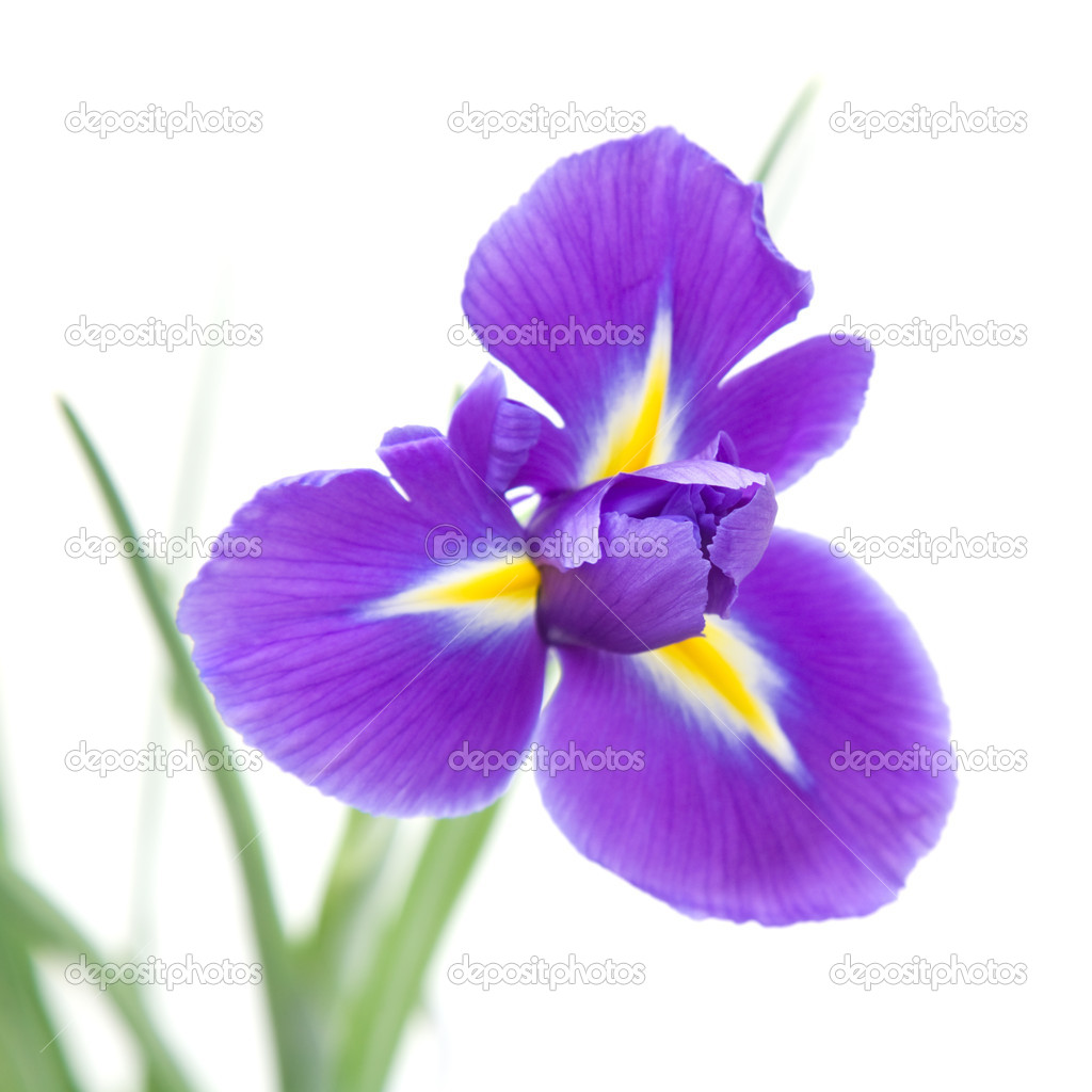 Iris flower meaning flower meaning 5336960 sciencemadesimplefo this site contains all info about iris flower meaning flower meaning izmirmasajfo