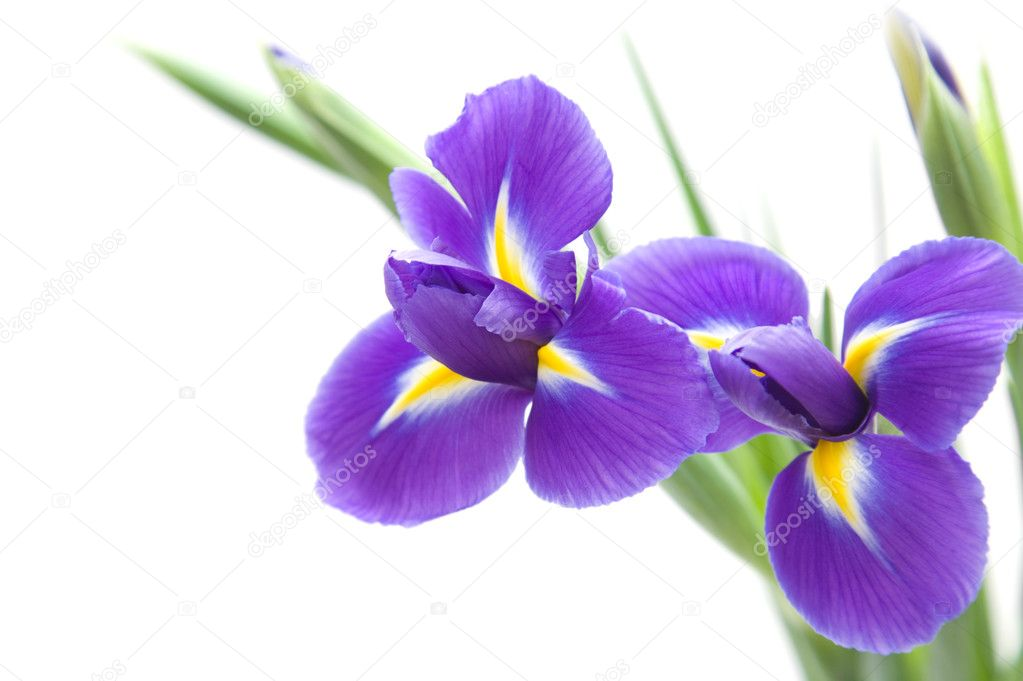 Beautiful dark purple iris flower isolated on white background — Stock Photo #4808918