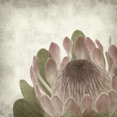 Textured old paper background with pink protea sugarbush flower — Stock Photo