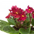 Dark red african violet ; isolated on white — Stock Photo