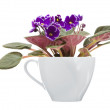Dark purple african violet with white petal edges growing in a large white — Stock Photo