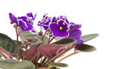 Dark purple african violet with white petal edges; isolated on white — Stock Photo