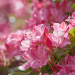 Stock Photo: Flowering pink azalea