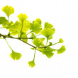 Ginkgo biloba branch with young leaves, isolated on white — Stock Photo #4933781