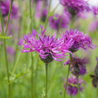 Common knapweed (Centaurea nigra, lesser knapweed ,black knapwee - 图库照片