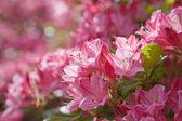Różowy kwitnienia azalii — Zdjęcie stockowe