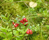 Ripe fruit of Vaccinium vitis-idaea, lingonberry — Stock Photo