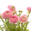 Bunch of pale pink ranunculus (persibuttercup); isolated on w — Stockfoto #5053155