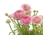 Bunch of pale pink ranunculus (persian buttercup); isolated on w — Stock Photo