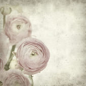 Textured old paper background with pink ranunculus (persian but — Fotografia Stock