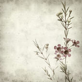 Textured old paper background with dark pink Chamelaucium (waxf — Stock Photo