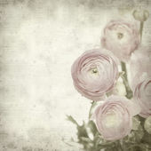Textured old paper background with pink ranunculus (persian but — Foto Stock