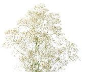 Bunch of Gypsophila (Baby's-breath), isolated on white background; — Stock Photo