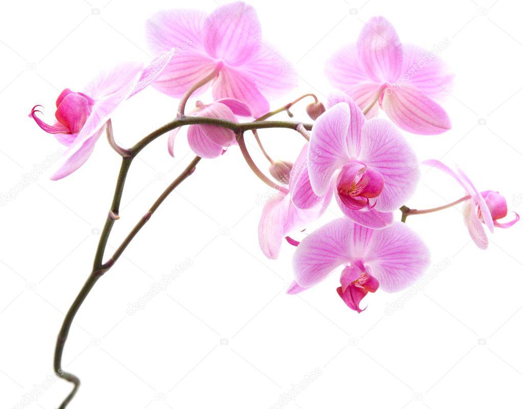 phalaenopsis ray rose orchid e isol sur blanc photographie tamara k 5155476. Black Bedroom Furniture Sets. Home Design Ideas