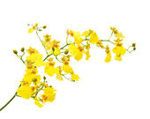 Bright yellow Oncidium orchid; whole flowering spike; isolated on white bac — Stok fotoğraf