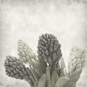 Textured old paper background with hyacinth bud clusters — Stock Photo