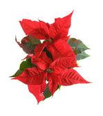 Fresh beautiful green and red poinsettia (Euphorbia pulcherrima); plant iso — Stock Photo