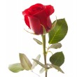Single red rose isolated — Stock Photo