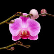 Pink stripy phalaenopsis orchid isolated on black, — Stock Photo #5313312