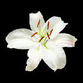 White lily flower isolated on black background; square crop — Stock Photo