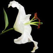 White lily flower isolated on black background; side view;diagonal composi — Foto de Stock