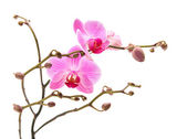 Pink stripy phalaenopsis orchid isolated on white, — Stock Photo