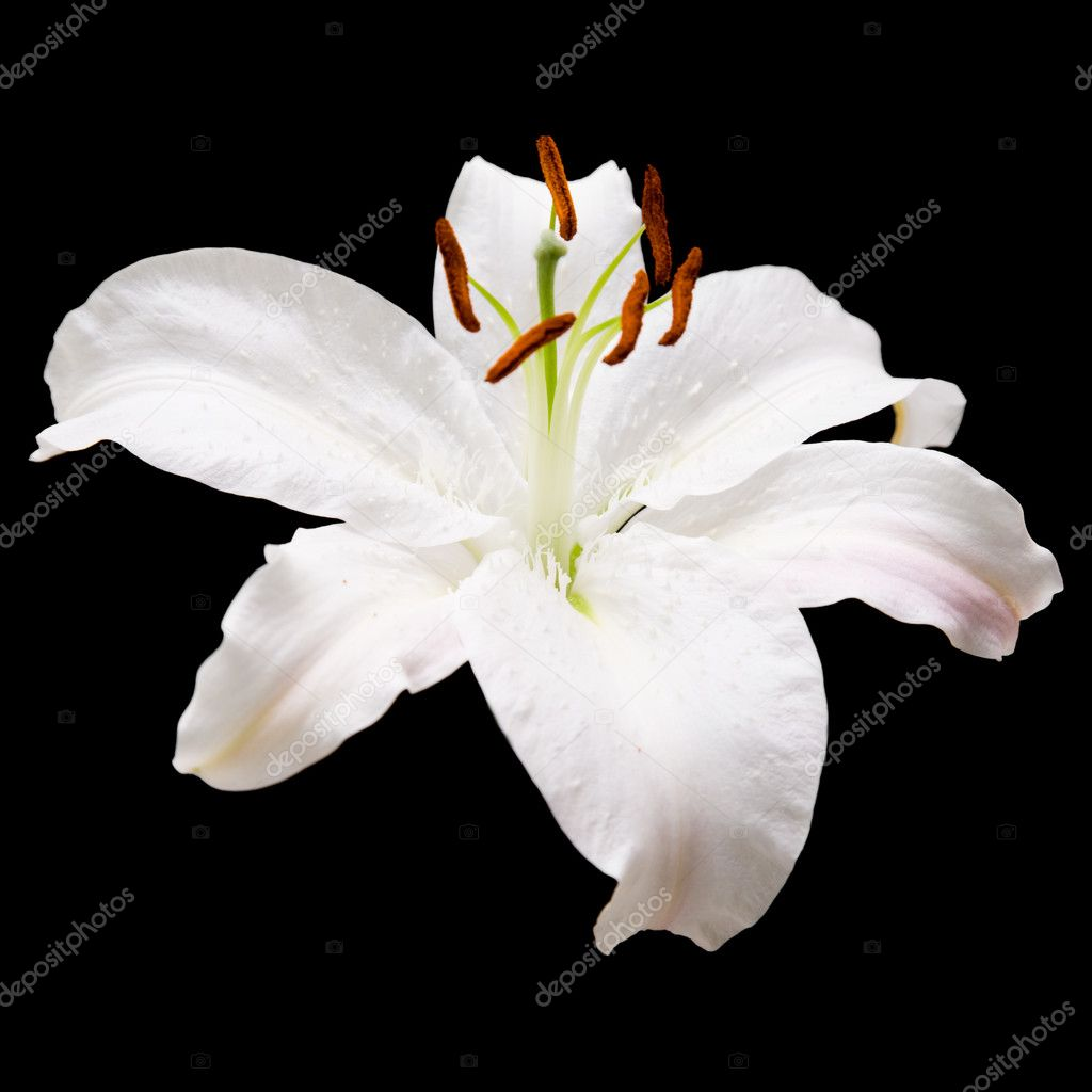 White lily flower isolated on black background; square crop — Stock Photo #5313196