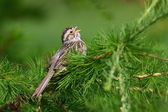 Clay-colored Sparrow — Stock Photo
