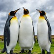 Three King Penguins — Stock Photo