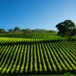 Vivid Vineyard — Stock Photo
