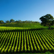 Vivid Vineyard - Stock Photo