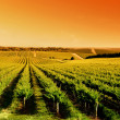 Vineyard Sunrise - Stock Photo