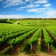One Tree Hill Vineyard - Stock Photo