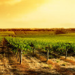 Amazing Vineyard Sunset - Stock Photo
