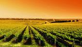Amanecer de viña — Foto de Stock
