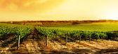 Amazing Vineyard Sunset — Stock Photo