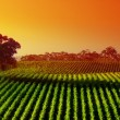 Stock Photo: Sunset Vineyard