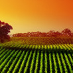 Sunset Vineyard — Stock Photo