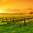 Royalty-Free Stock Photo: Vineyard Sunrise