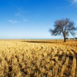 Rural Australian Field — Stock Photo