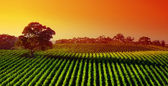 Sunset Vineyard — Stock Photo