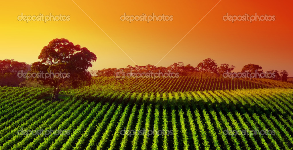 Beautiful Vineyard Landscape with large gum tree — Stock Photo #5215769