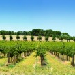 Royalty-Free Stock Photo: Vineyard Panorama