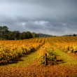 Stock Photo: Stormy Vineyard