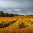 Stormy Vineyard — Stock Photo