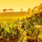 Vine Leaves — Stock Photo #5238707