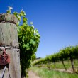 Fresh Vines — Stock Photo