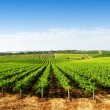 Stock Photo: Vineyard Panorama
