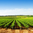 Vineyard Panorama - Foto Stock