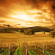 Stunning Sunset Vineyard - Stock Photo